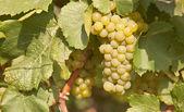 Uva chardonnay — Zdjęcie stockowe