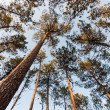 Pine Tree Canopy — Stock Photo
