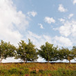 Row of Trees viewed from below against blue sky clouds — Stock Photo #7305457