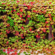 Window autumn clambering plant — Stock Photo