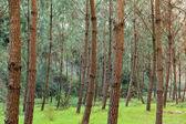 Pine Trees on Greeny Grass — Stock Photo