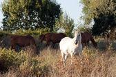 Bílý kůň a další ve středu plodin — Stock fotografie