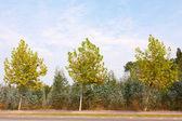 Autumn Three Trees — Stock Photo
