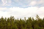 Padrão de árvores de pinho — Fotografia Stock
