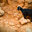Black goat — Foto de Stock