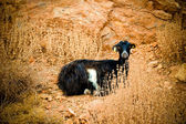 Goat lying — Stock Photo