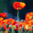Poppy flowers — Stock Photo #7283207