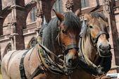 Brewery horses — Stock Photo