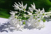 Ramson Flower — Stock Photo
