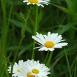 Margeriten - Marguerites — Stock Photo