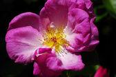 Wilde Rose — Stock Photo