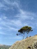 Mediterranean pines — Stock Photo