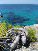 Pine and sea — Stock Photo