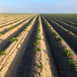 Cultivated potato field — Stok Fotoğraf #7309161