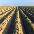 Stockfoto: Cultivated potato field