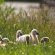 Foto de Stock  : Juvenile swans in grass