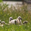 图库照片: Juvenile swans in grass