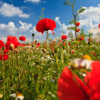 Stock Photo: Wild poppy flowers field