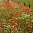 Wild poppy flowers in the verge of a road - Stock Photo