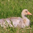 Youngster of white-fronted goose — Stock Photo