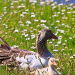 White-fronted goose with youngsters — Stock Photo #7313712