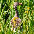 White fronted goose in a grassland — Stockfoto