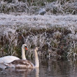 Swans in a white winter landscape — Stock Photo