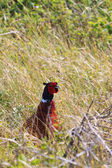Pheasant male bird in the bushes — Stock Photo