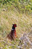 Pássaro macho de faisão nos arbustos — Foto Stock
