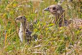 Pájaro hembra faisán con menores — Foto de Stock