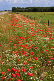 Wild poppy flowers in the verge of a road — Stock Photo