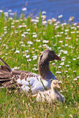 White-fronted goose with youngsters — Stock Photo