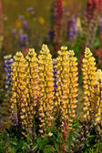 Wild lupine flowers in a grassland — Stock Photo