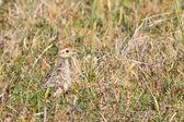 Pheasant juvenile bird in the bushes — Stock Photo