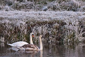 Kuğuların beyaz kış peyzaj — Stok fotoğraf