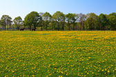 Dandelion flower field in bloom — Stock Photo