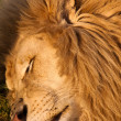 Male lion sleeping — Stock Photo