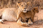 Lion family resting in the grass — Stock Photo