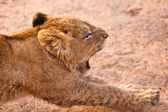 Baby lion stretching — Stock Photo