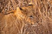 León bebé caminar en la hierba — Foto de Stock