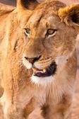 Female lion walking through the grass — Stock Photo