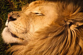 Male lion sleeping — Photo