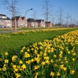 Row of narcissus flowers in the verge of a road — Stock Photo