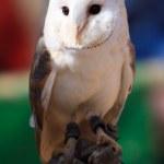 White owl at a bird show — Stock Photo