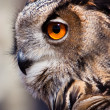 Big eagle owl in closeup - Stok fotoğraf