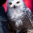 White snow owl in closeup — Stock Photo