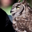 Long eared owl in closeup — Foto de stock #7514413