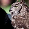 Stockfoto: Long eared owl in closeup