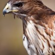 Stock Photo: Big brown eagle in closeup