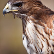 Big brown eagle in closeup — Stock Photo